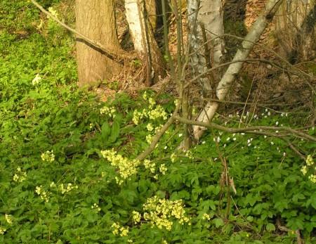 Uitbundige bloemenpracht in de lente bossen in Tsjechie