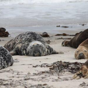 Fietsen Rugen met kinderen - zeehond