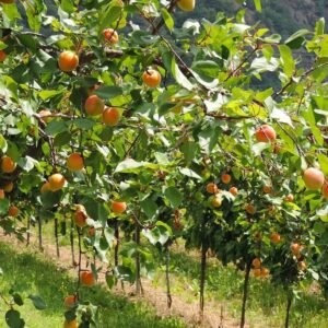 Abrikozengaard - mediterraanse sfeer Wachau