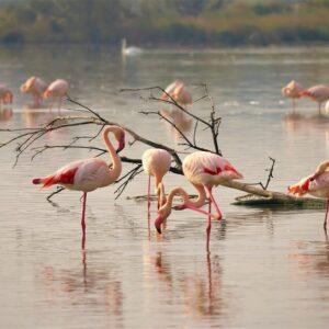 Flamingo Delta del Po