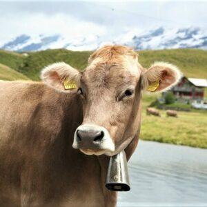 Fietsvakantie langs de Inn - Alpen koe
